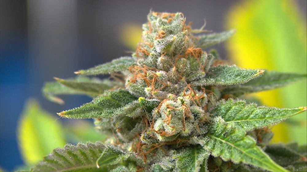 marijuana-leaf-and-buds
